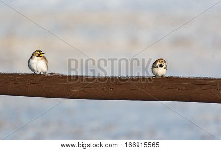 Horned Lark and Lapland Longspur on a Frosty Fencepost