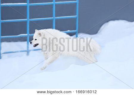 Cute samoyed dog outdoors on winter day