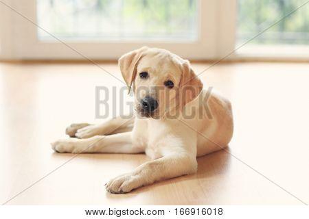 Golden Labrador dog in room