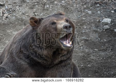 Brown Bear Protecting its Territory with a Growl