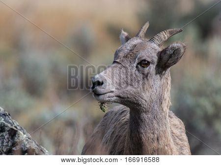 Bighorn Sheep Ewe with Cactus Stuck on Chin