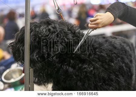 Hand of barber cutting hair at dog show