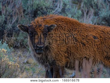 Young Bison Calling for its Mother on the Prairie