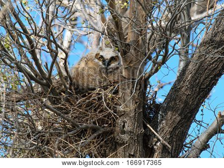 Great Horned Owlets Peeking out of Nest