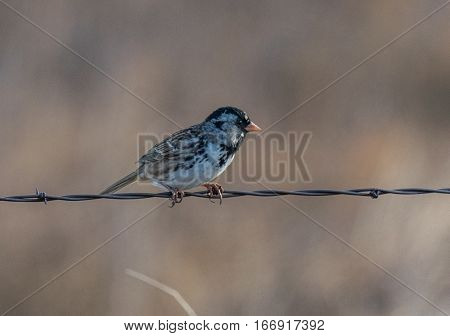 A Harris's Sparrow on a Wire Fence