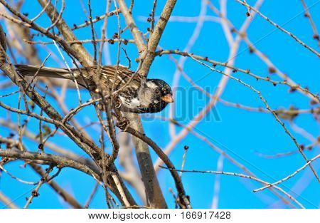 A Harris's Sparrow Perched on a Branch About to Take Off
