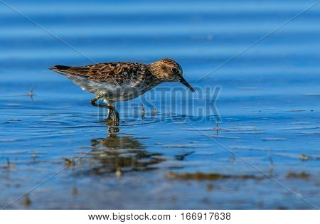 A Least Sandpiper Looking for Food along the Lake Shore