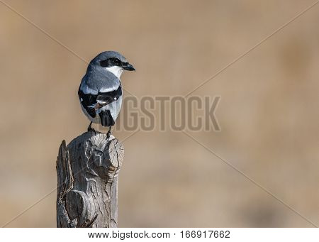 A Loggerhead Shrike on a Wooden Fencepost