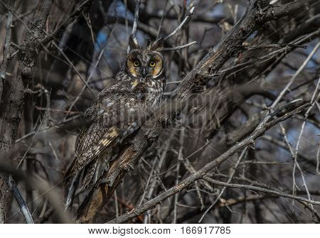 Long-eared Owl Observing through some Thick Branches