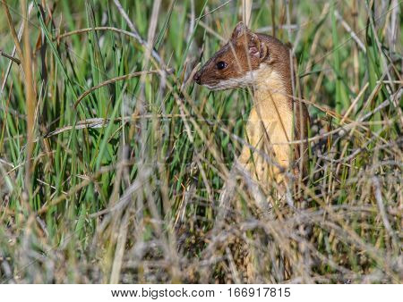 A Short-tailed Weasel looking around through the Grass