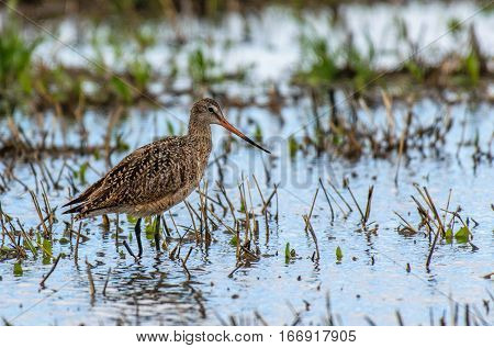 Marbled Godwit in a Mudflat Looking for Food