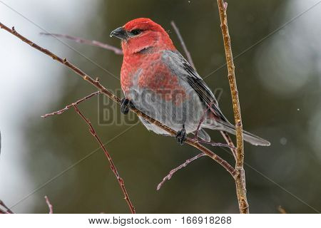 Pine Grosbeak Perched on a Branch During a Snowstorm