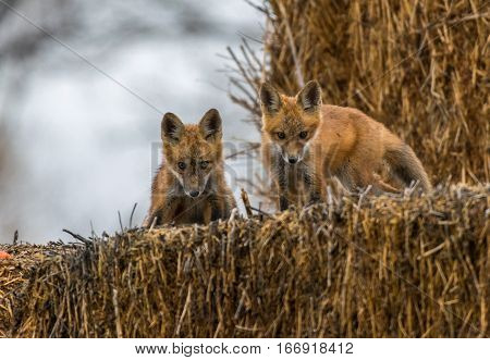 Red Fox Kit Siblings Looking Mischievous at Photographer