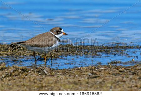 A Semipalmated Plover Searching for Food Along a Shoreline