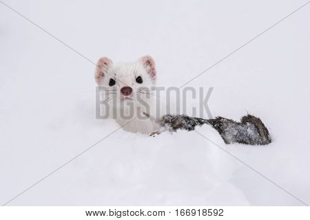A Proud Short-tailed Weasel (ermine) Poses with its Catch in the Snow