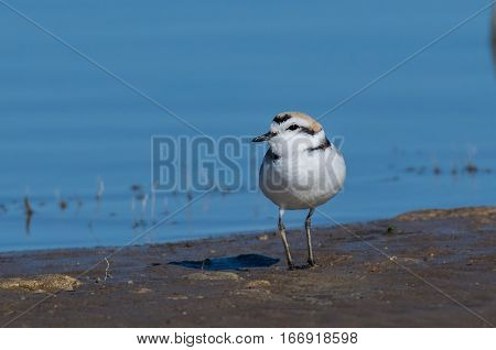 A Snowy Plover poses while searching the Lake Shore for Food