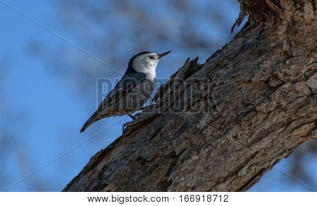 A White-breasted Nuthatch Looking for Food at Daybreak