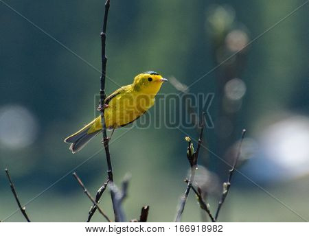 A Wilson's Warbler Perched Sideways on a Spring Morning