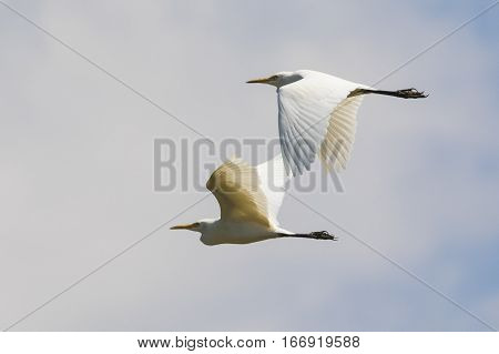 Image of egret flying in the sky. Heron. Wild Animals.