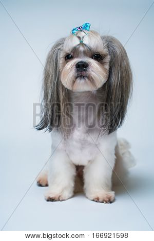 Shih tzu dog with short hair after grooming profile view. On bright white and blue background.
