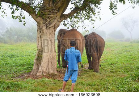 CHIANG RAI THAILAND - JANUARY 8 2017: A Mahout with his elephants. At the Anantara Golden Triangle Elephant Camp a charity designed to help elephants and their handlers.