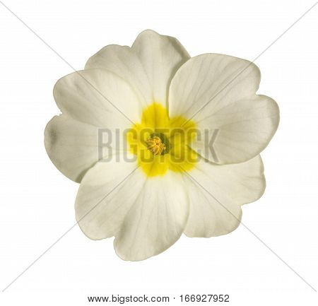 white flower of Primula isolated on white background closeup