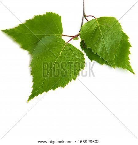 Green birch leaves isolated on a white background