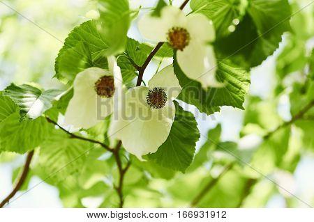 Handkerchief tree in full bloom (Davidia involucrata)