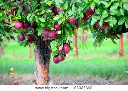 Apple Tree at Jonamac Orchard - This Photo was taken at Apple Orchard in Malta Illinois