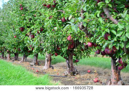 Apple Trees - This Photo was taken at Apple Orchard in Malta Illinois
