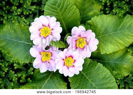 Light pink color primula flowers (Spring primrose) with green leaves