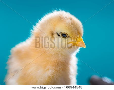 Cute little newborn chicken on blue background. Close up portrait of newly hatched chick on a chicken farm.
