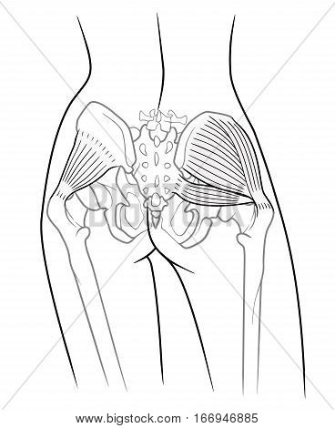 The internal structure of the pelvic girdle female skeleton and gluteus minimus muscle gluteus medius muscle and piriformis rear view. On a white background