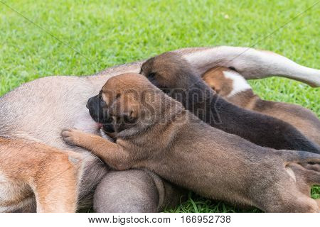 Happy thai dog feeding her puppies with grass