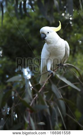 Cockatoo standing on a branch in a tree in Australia