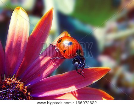 shot of small ladybird on the pink flower