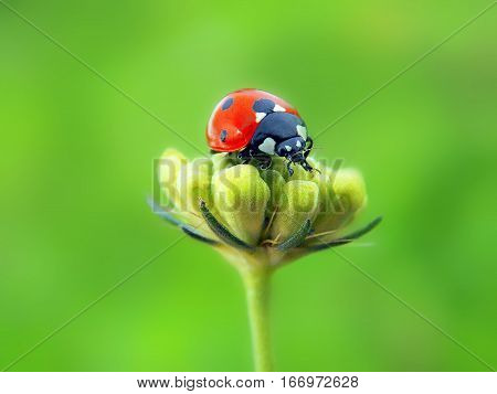 a small ladybird bug on the field flower