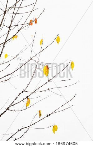 Autumn leaves blown by the wind during a snowfall