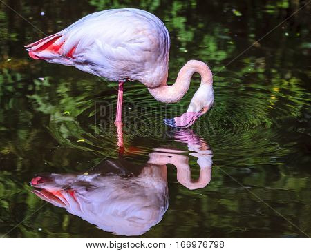 Pink Flamingo standing in a pond