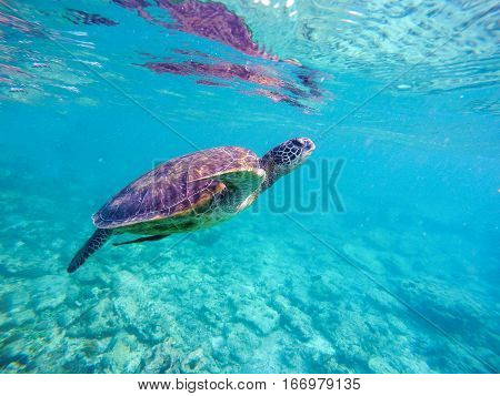 Sea turtle in blue water. Big sea turtle diving in coral reef. Sea tortoise.  Snorkeling with turtle in lagoon. Aquatic photo for banner template or poster with text place