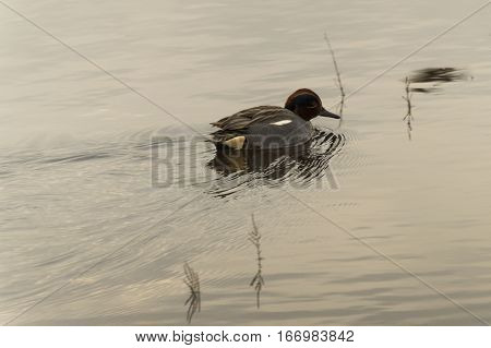 The anas crecca duck at the remolar-filipines reserve