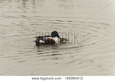 The  anas clypeata duck male and female playing at the remolar-filipines reserve