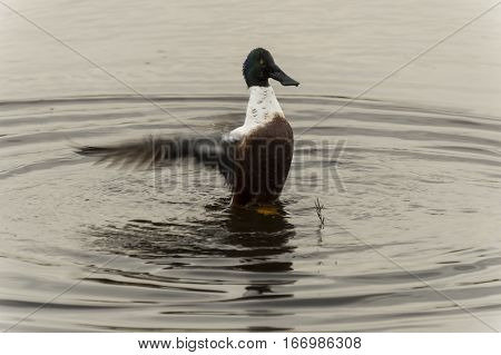 A  anas clypeata duck flapping his wings