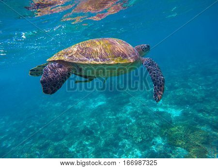 Sea turtle in blue water. Green sea turtle diving in coral reef. Sea tortoise. Sea life image for banner template or poster with text place