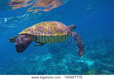 Sea turtle in blue water with fish cleaner. Green sea tortoise. Sea turtle closeup. Green turtle swimming. Snorkeling with turtle in lagoon. Nature image for banner template or poster with text place