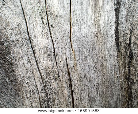 Wooden texture close up photo. White and grey wood background. White old tree near the sea. Curves and lines on rustic timber. Rough timber texture. Sea wood backdrop. Winded old tree on the beach