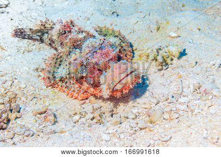 Skorpena on the sandy bottom. Underwater at the bottom of the red sea. Fish of the red sea.
