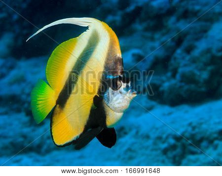 Butterfly fish on a coral reef. Underwater at the bottom of the red sea. Fish of the red sea.