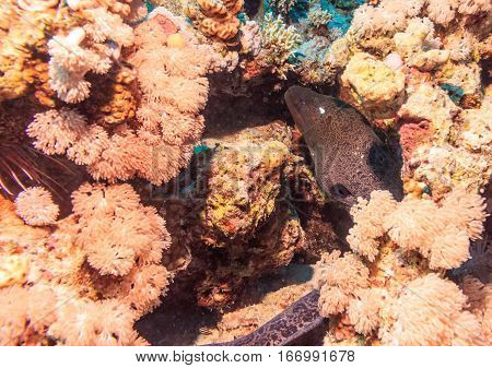 Murena on coral reef. Underwater at the bottom of the red sea. Fish of the red sea.