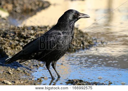 A Carrion crow standing in shallow water